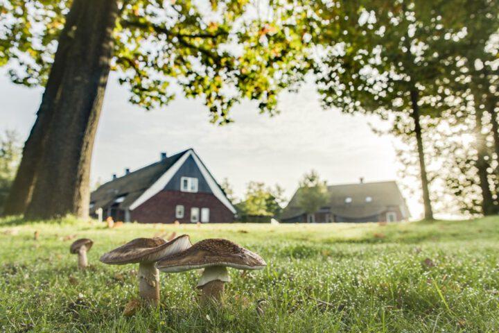 Paddenstoelen in het gras voor de vakantiehuizen bij Hof van Saksen in Drenthe